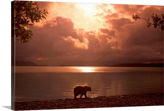 Grizzly Walking Along Naknek Lake Katmai NP Alaska Summer