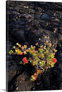 Hawaii, Big Island, Ohi'a Lehua Tree Growing On Pahoehoe Lava Flow
