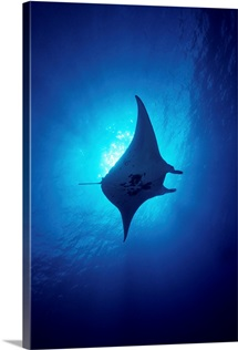 Hawaii, Common Manta Ray (Manta Alfredi)