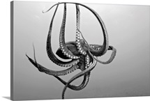 Hawaii, Day Octopus (Octopus Cyanea) In Ocean Water