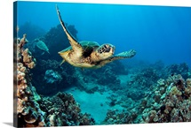 Hawaii, Green Sea Turtle (Chelonia Mydas) An Endangered Species