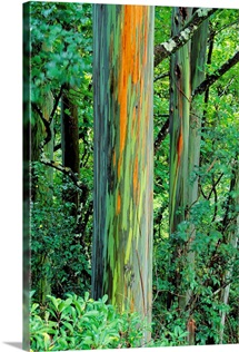 Hawaii, Maui, Hana, Rainbow Eucalyptus Tree Trunk