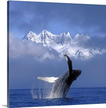 Humpback Whale Breaches in Clearing Fog SE AK Spring w/Mendenhall
