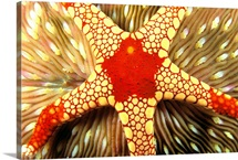 Indonesia, Yellow And Red Sea Star On Mushroom Coral