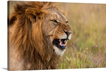 Kenya, Male lion snarling in Ol Pejeta Conservancy, Laikipia Country