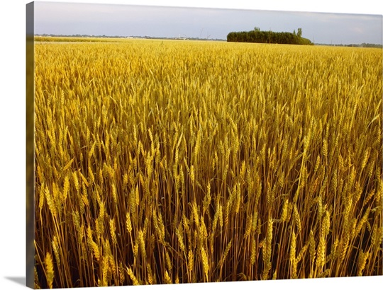 Large field of mature, harvest ready Canada Western Red ...