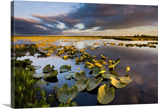 Lily pads at sunset on a small pond in the Bristol Bay watershed