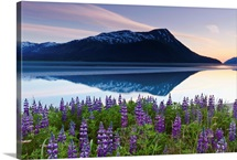 Lupine Along Turnagain Arm At Sunset, Chugach National Forest, Southcentral Alaska