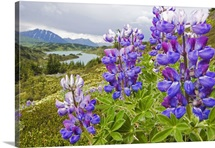 Lupine Flowers Near Lost Lake, Seward, Chugach National Forest, Southcentral, Alaska