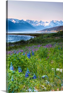 Lupines just outside of Haines, Alaska