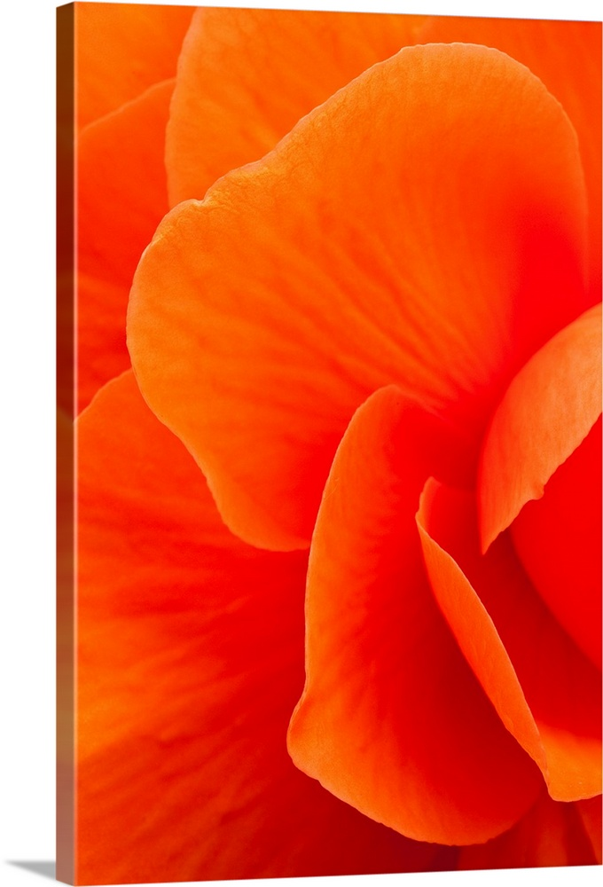 Macro view of an orange begonia flower during Summer