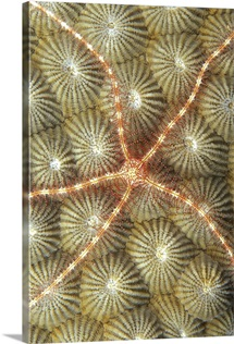 Micronesia, Brittle Star On Hard Coral