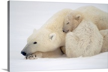 Mother Polar Bear & Cub Huddle in Snow Storm