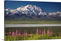 Mt. McKinley and the Alaska Range with fireweed flowers, Denali National Park Alaska