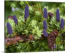 Newly sprouted spruce cones grow amidst last years cones in Glen Alps