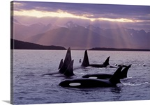 Orca Pod in Lynn Canal w/Sunrays on Chilkat Mtn AK SE Summer Evening