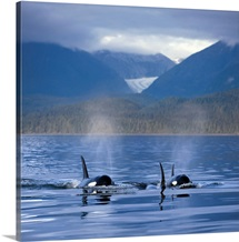 Orca Whales surface in Alaskas Inside passage with the Coastal Range and Eagle Glacier