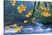 Oregon, Cascade Mountain Range, Yellow Autumn Leaves With Stream