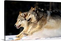 Pack Of Grey Wolves Running Through Deep Snow