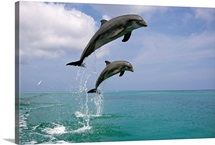 Pair of Bottle Nose Dolphins Jumping Roatan Honduras Summer