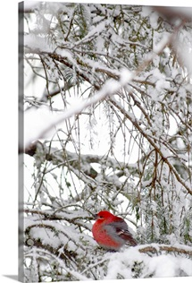 Pine Grosbeak On Snowy Branch Winter SC Alaska