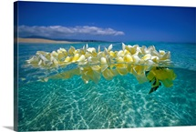 Plumeria Lei Floating On Ocean Surface