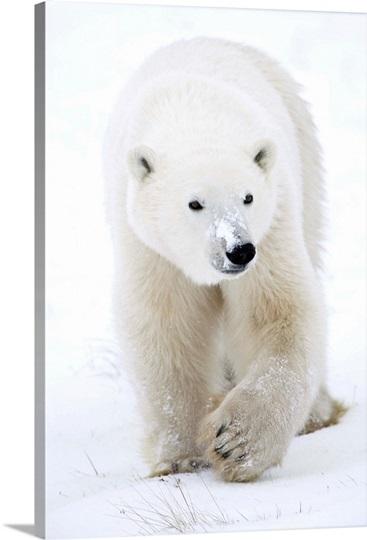 Polar Bear Walking Photo Canvas Print