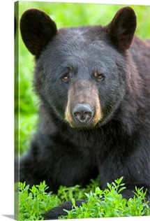 Portrait of a Black Bear at the Alaska Wildlife Conservation Center