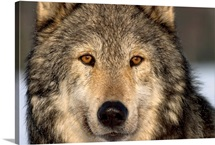Portrait of Grey Wolf Captive Alaska SE Winter