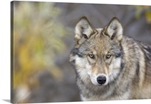 Portrait of the alpha female Grey Wolf (Canis lupus) of the Toklat pack, Denali