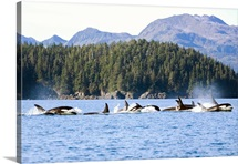 Prince William Sound, near Knight Island Passage, a large pod of over 20 Orca