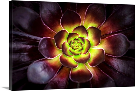Purple and green Aeonium