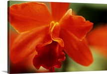 Red Cattleya Orchid, Close-Up Of Blossom