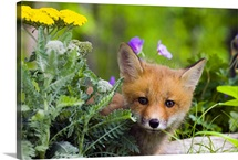 Red Fox Kit In Spring Wildflowers, Minnesota