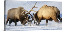Roosevelt elk fight during rut season, Alaska Wildlife Conservation Center