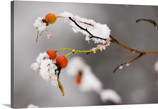 Rosehips w/first dusting of snow late autumn Kenai Peninsula Homer Alaska