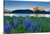 Scenic sunrise view of coastal lupine along the mouth of Twentymile River