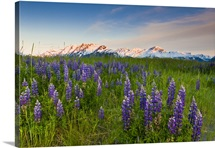 Scenic view of lupine along Turnagain Arm at sunset with alpenglow