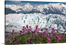 Scenic view of Matanuska Glacier and Chugach Mountains with wild Sweet Pea in foreground