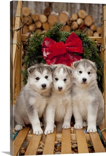 Siberian Husky puppies in traditional wooden dog sled with Christmas wreath, Alaska
