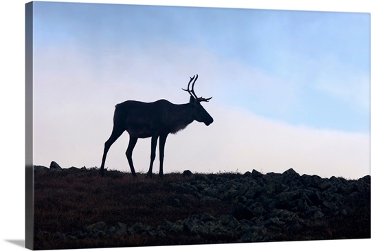 Alpine tundra caribou - photo#15