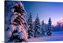 Snow covered spruce trees at sunset with pink alpenglow, Russian Jack Park, Anchorage