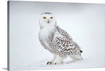Snowy Owl on snow, Saint-Barthelemy, Quebec, Canada, Winter