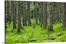 Spruce forest &amp;amp; moss near coast Kodiak Island Southwest Alaska