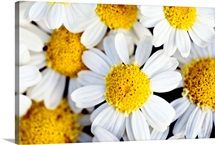 Summer Daisies (Anthemis Punctata), Cluster Of White Blossoms