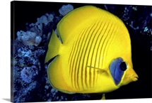 The Red Sea, Blue Cheeked Butterflyfish (Chaetodon Semilarvatus)