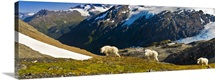 Three mountain goats near Exit Glacier's Harding Icefield Trail