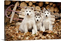 Three Siberian husky puppies sit in leaves with runner sled and woodpile, Alaska