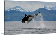 Two Orcas from the AT1 Transient Pod jumping together in Prince William Sound
