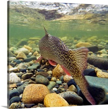 Underwater view of a rainbow trout swimming upstream in Montana Creek, Alaska